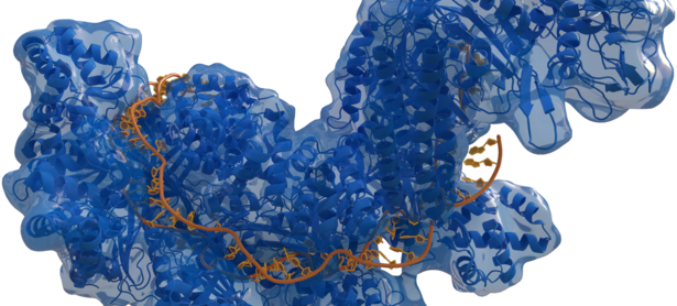 Typ-I CRISPR-surveillance-complex (Cas, blau) mit gebundener Ziel-DNA (orange). © Thomas Splettstoesser (www.scistyle.com) [CC BY-SA 4.0  (https://creativecommons.org/licenses/by-sa/4.0)], from Wikimedia Commons